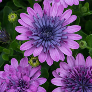 Double Pink Osteospermum Pink x 6 plugs