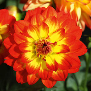 Dahlia Lubega Power Yellow Orange x 6