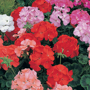 Geranium Blooming Mix
